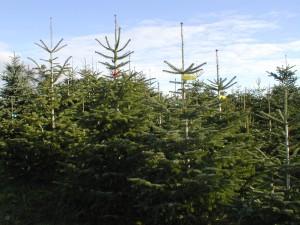 Weihnachtsbäume aus eigener Produktion